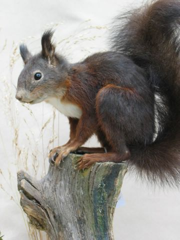 red-squirrel_8275_v2 [640x480].jpg